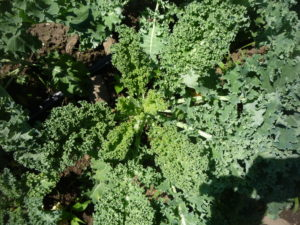 Kale is one of the most popular crops we grow