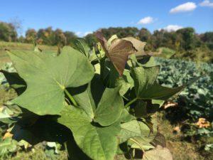 sweet-potato-greens