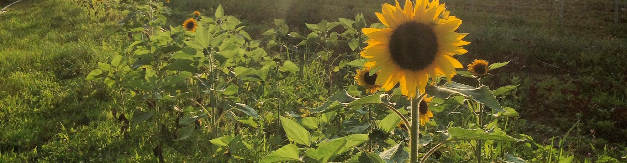 Donattions to Massaro Community Farm helps feed your community