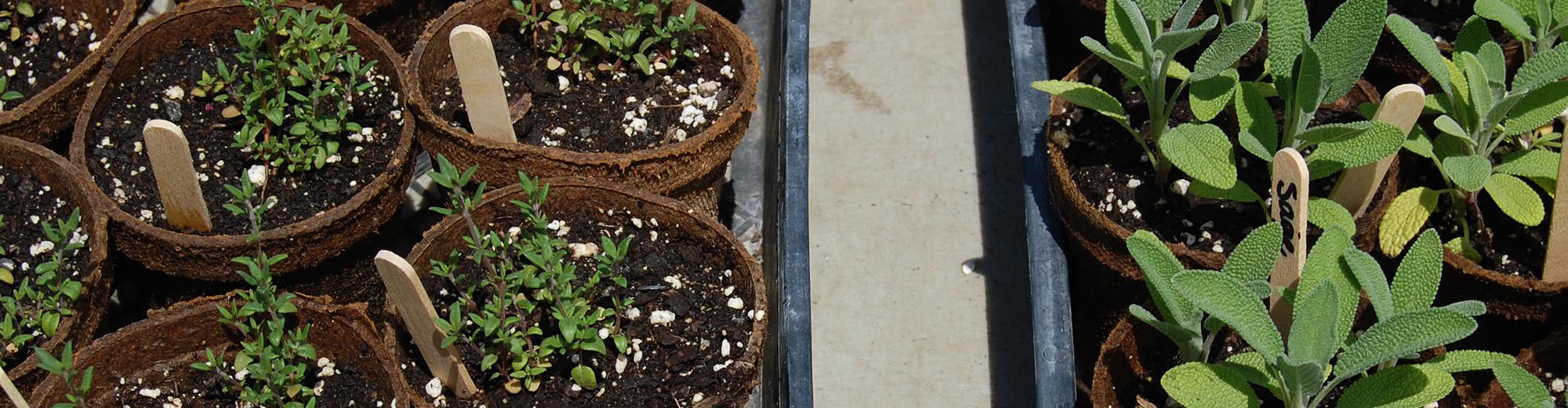 Massaro Sprouts